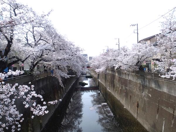 石神井川の桜.JPG